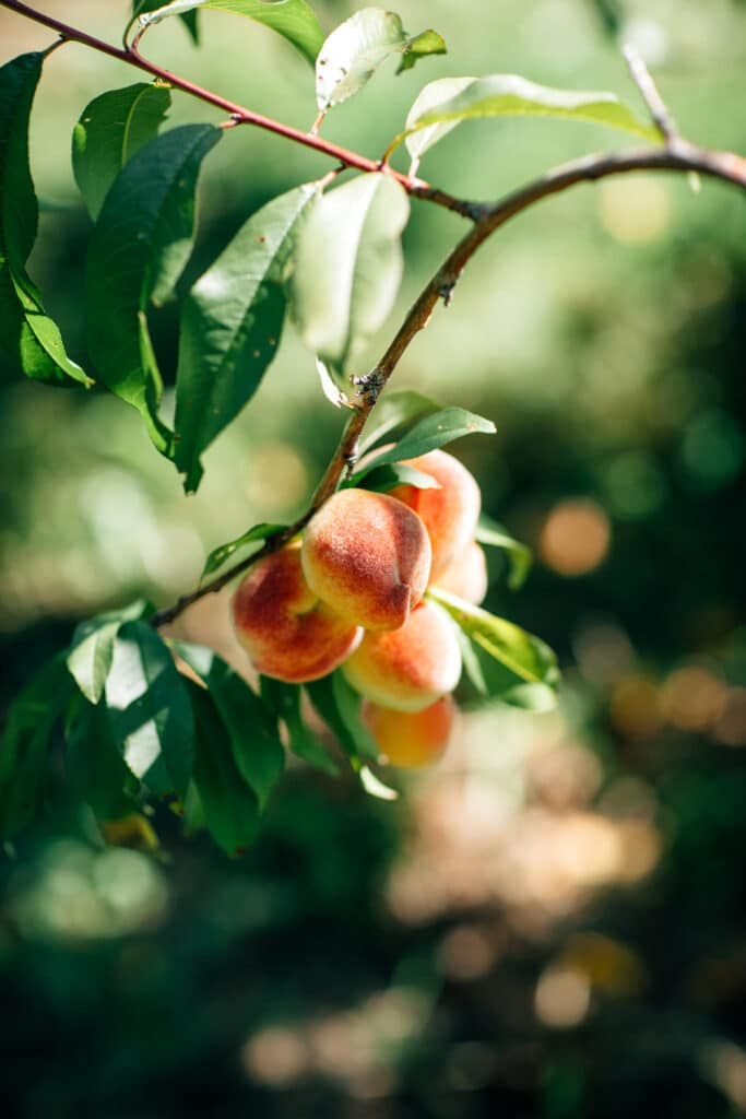 A cluster of peaches hanging on a branch.